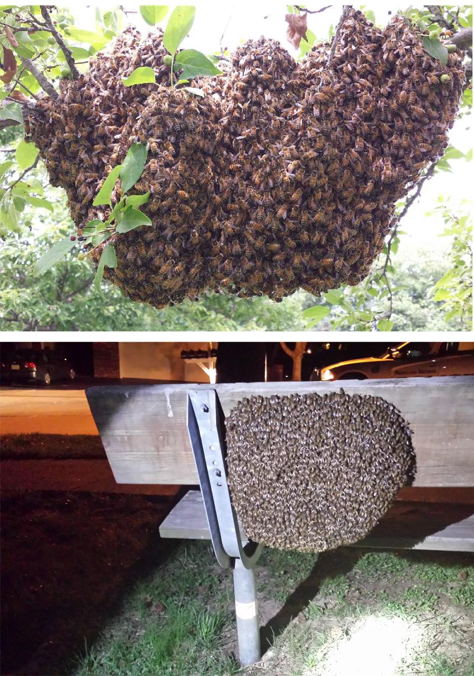 bee removal st louis missouri pure raw honey beeswax swarm removal